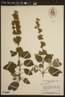 Salvia argentea image