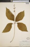Image of Micheliella verticillata