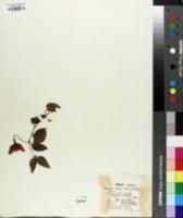 Image of Fuchsia rosea