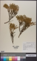 Ericameria nana image