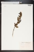 Image of Colubrina cubensis