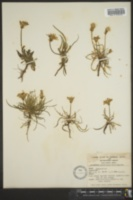 Image of Agoseris gracilens
