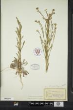 Boechera missouriensis image