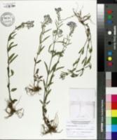 Image of Scutellaria integrifolia
