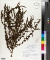 Ammannia auriculata image