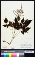 Image of Astilbe thunbergii