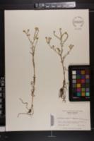Image of Plagiobothrys hirtus