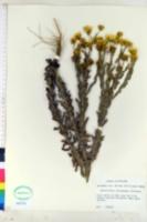 Image of Heterotheca latisquamea