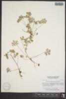 Image of Geranium sphaerospermum