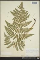 Dryopteris campyloptera image