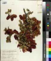Image of Terminalia prunioides