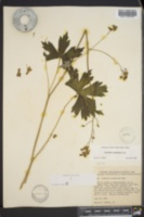Aconitum reclinatum image