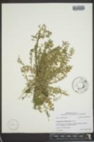 Lepidium didymum image