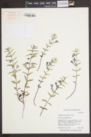 Image of Scutellaria angustifolia