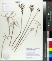Image of Drosera binata