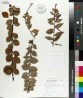 Image of Macleania bullata