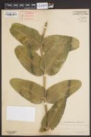 Asclepias sullivantii image