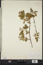 Rubus recurvicaulis image