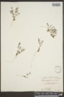 Image of Houstonia subviscosa