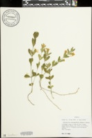 Image of Dyschoriste oblongifolia