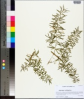 Image of Asparagus aethiopicus