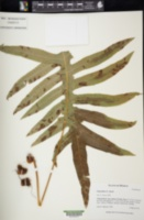 Image of Polypodium eatonii