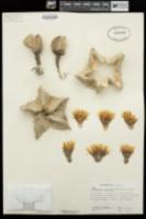 Astrophytum myriostigma image