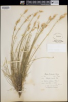 Astragalus conjunctus image