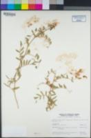 Lathyrus vestitus var. alefeldii image