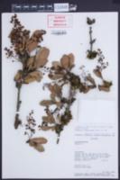 Image of Berberis paniculata