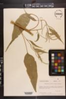 Amaranthus australis image