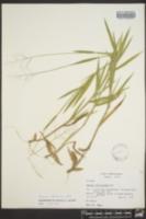 Dichanthelium villosissimum image