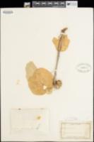 Image of Jatropha giffordiana