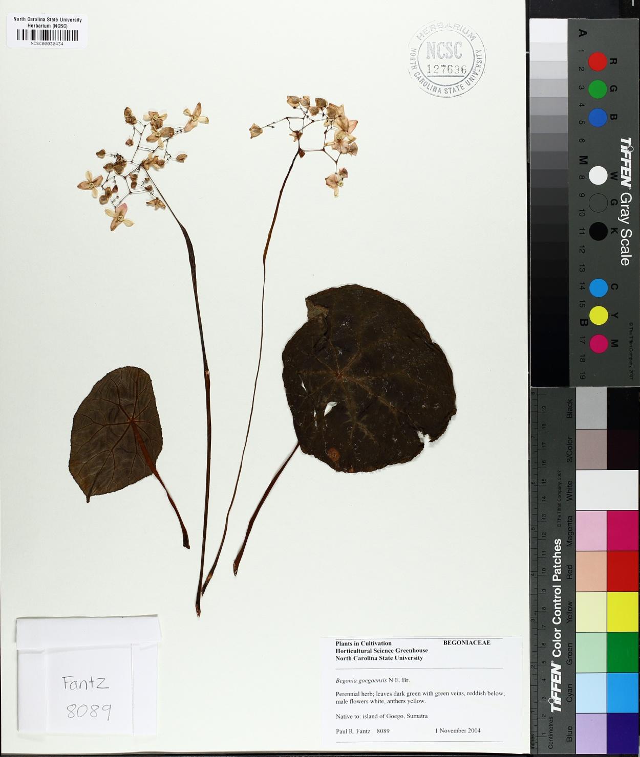 Begonia goegoensis image