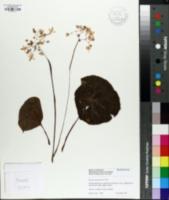 Image of Begonia goegoensis