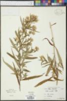 Image of Acer lanceolatum