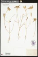 Image of Ziziphora capitata