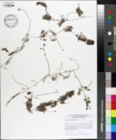 Image of Utricularia purpurea