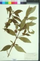 Image of Callicarpa bodinieri