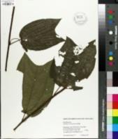 Image of Passiflora costaricensis