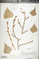 Populus nigra image