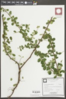 Pyracantha fortuneana image