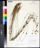 Rhynchospora filifolia image