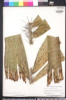 Aiphanes caryotifolia image