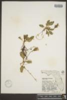 Image of Stenandrium floridanum