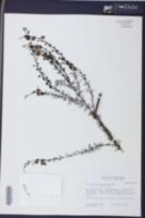 Seymeria cassioides image
