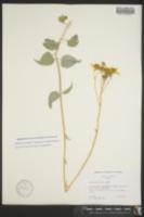 Bahiopsis reticulata image