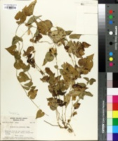Image of Aristolochia pentandra