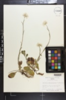 Antennaria plantaginifolia image