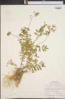 Image of Polemonium vanbruntiae